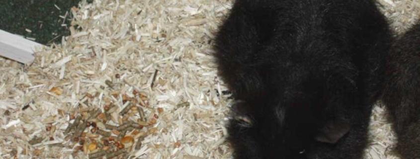 Hanfstreu für Meerschweinchen - staubfrei und für Allergiker geeignet