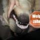 Welpe zahnt - Ratgeber, wie man dem Hund beim Zahnwechsel helfen kann